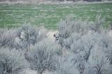 mule deer hiding amidst sagebrush _DSC4187.jpg
