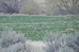 mule deer _DSC4231.jpg