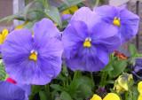 Blumen zum Verkauf bei Frederico Meyeros P4240018.JPG