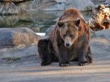 Bronx Zoo: Grizzly Bears