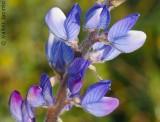 Tremoceiro-das-folhas-estreitas // Narrowleaf Lupin (Lupinus angustifolius)