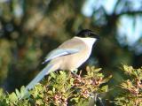 Pega-azul ou Charneco // Iberian Azure-winged Magpie (Cyanopica cooki)