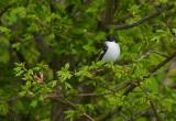 Balia nera (Ficedula hypoleuca) - European Pied Flycatcher