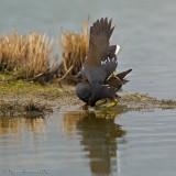 Gallinella d'acqua (Gallinula chloropus)  Accoppiamento 4