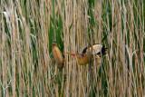 Tarabusino (Ixobrychus minutus) - La coppia 2