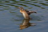 Svasso maggiore (Podiceps crestatus)