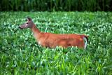 Doe, a deer.