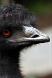 Emu with a doo.