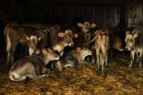 The calves and calve-nots.