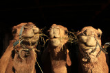 Three Happy Camels.