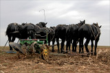 A team of six black Percheron.