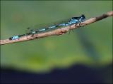 Flagermus-Vandnymfe - Coenagrion Pulchellum