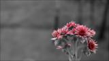 Flower of joubarbe