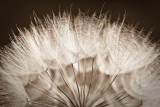 Salsify Seed Head Close-Up