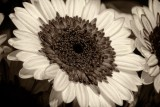 Sepia-Toned Sunflower