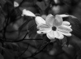 Dogwood Blossom in Black and White