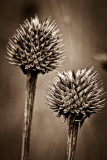 Dried Flower Heads