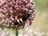 Mammouth Wasp