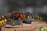Hoornaar queen versus  Gewone wespenkoniging