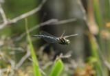 Dragonflies & Damselflies - Odonata