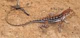 Ctenophorus maculatus maculatus