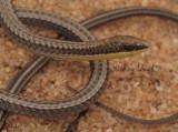 Pletholax gracilis edelensis