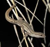 Crenadactylus occidentalis