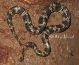 Aipysurus mosaicus