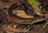 Glaphyromorphus fuscicaudis