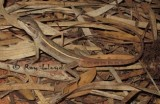 Diporiphora pindan