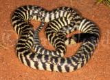 Aspidites melanocephalus