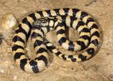 Hydrelaps darwiniensis