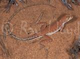 Ctenophorus femoralis