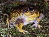 Frogs of Australia (Limnodynastidae)