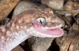 Diplodactylus lateroides