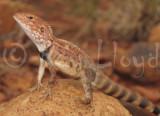 Ctenophorus caudicinctus
