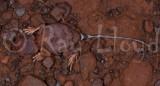 Tympanocryptis diabolicus
