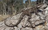 Lophagnathus burnsi