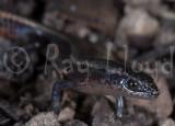 Pygmaeascincus sadlieri