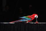 31 Le perroquet patine