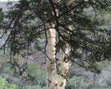 Paperbark tree?