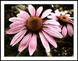 Echinacea toned