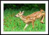 Fawn gallop