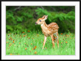 Relaxed fawn grazing