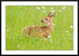 Fawn in field of daisys