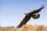 Golden Eagle Fall flight