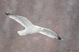 Ring billed gull snow beauty