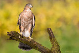 Coopers Hawk in fall colors