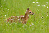 Fawn in flowers