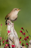 House wren sings